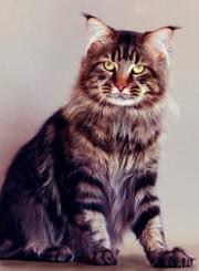 котята породы Мейн-Кун от Чемпиона мира