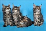 Котята мейн кун из питомника KUNKITTI ASTANA