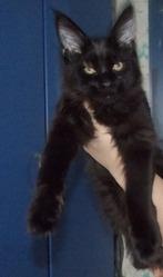продам замечательного котенка породы мейн кун