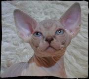 Продаётся котик голубой биколор Канадского сфинкса