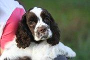 продаются щенки американского кокер спаниеля редкого окраса