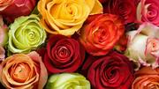 Горшечные цветы,  срезанные цветы оптом из Голландии.