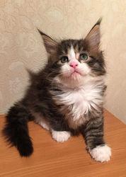 Котята мейн кун от шикарных российских производителей