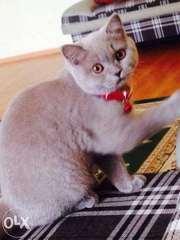 Продается британская кошка